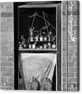 Woolloomolloo Window With Cats Acrylic Print by Barry Culling
