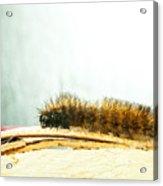 Wooly Worm Acrylic Print
