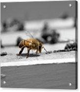 Worker Bee Acrylic Print