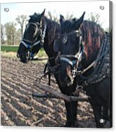 Working Percherons Acrylic Print