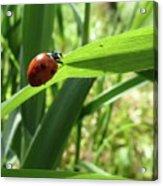 World Of Ladybug 2 Acrylic Print