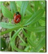 World Of Ladybug 3 Acrylic Print