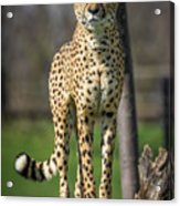 World's Fastest Land Animal Acrylic Print