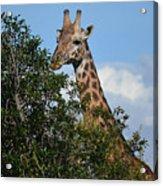 World's Tallest Mammal Acrylic Print