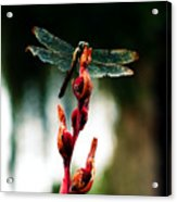 Wornout Dragonfly Acrylic Print by Susie Weaver