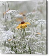 Wrapped In Queen Anne's Lace Acrylic Print