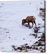 Wyoming Big Horn Acrylic Print