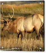 Wyoming Elk Acrylic Print