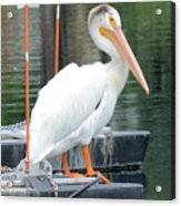 Wyoming Pelican Acrylic Print