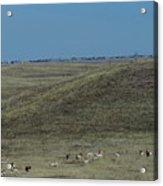 Wyoming Pronghorns Acrylic Print