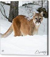 Wyoming Wild Cat Acrylic Print