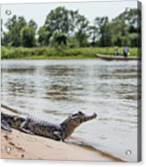 Yacare Caiman On Beach With Passing Boat Acrylic Print