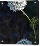 Yarrow In Stages Acrylic Print