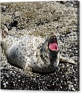 Yawning Harbor Seal - Oregon Coast Acrylic Print