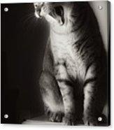 Yawning Acrylic Print