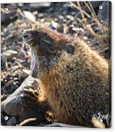 Yawning Marmot Acrylic Print