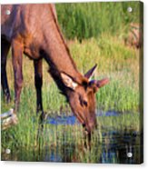 Yearling Elk Acrylic Print