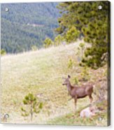 Yearling Mule Deer In The Pike National Forest Acrylic Print