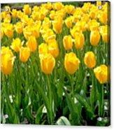 Yelllow Tulip Garden Acrylic Print