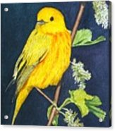 Yelllow Warbler Acrylic Print