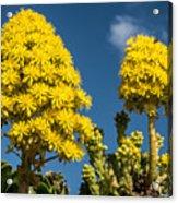 Yellow Aeonium Acrylic Print