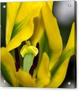 Yellow And Green Tulip Acrylic Print
