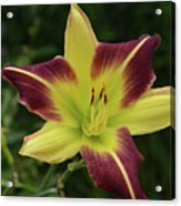 Yellow And Marron Flowering Lily In A Garden Acrylic Print