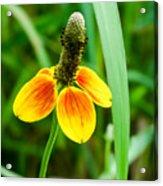 Yellow And Orange Clasping Coneflower Acrylic Print