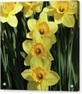 Yellow And Orange Daffodil  #2 Acrylic Print