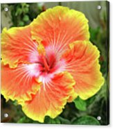 Yellow And Orange Hibiscus 2 Acrylic Print