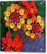 Yellow And Orange Lantana At Pilgrim Place In Claremont-california Acrylic Print