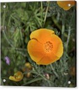 Yellow And Orange Poppy Acrylic Print