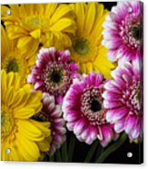 Yellow And Pink Gerbera Daisies Acrylic Print