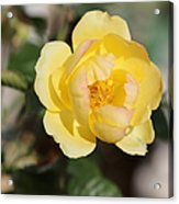 Yellow And Pink Tipped Rose Acrylic Print