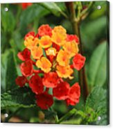 Yellow And Red Flowers On A Branch Acrylic Print