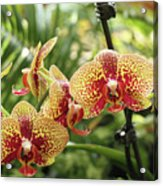 Yellow And Red Spotted Phalaenopsis Orchids Acrylic Print