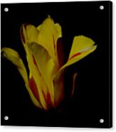Yellow And Red Tulip Acrylic Print