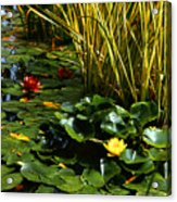 Yellow And Red Water Lilies In A Pond Acrylic Print