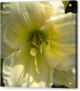 Yellow And White Daylily Acrylic Print