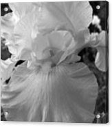 Yellow And White Iris In Bw Acrylic Print