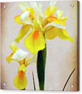 Yellow And White Iris Textured Acrylic Print
