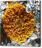 Yellow and white Lichen on Rock Acrylic Print
