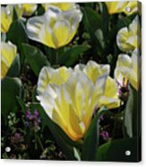 Yellow And White Tulips Flowering In A Garden Acrylic Print