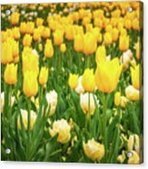 Yellow And White Tulips In Canberra In Spring Acrylic Print