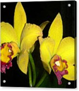 Yellow And Wine Orchids Acrylic Print