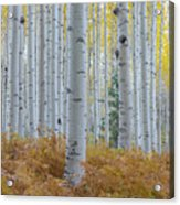 Yellow Aspen Grove Acrylic Print