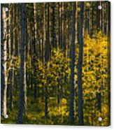 Yellow Autumn Trees In Forest Acrylic Print