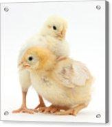 Yellow Bantam Chicks Acrylic Print