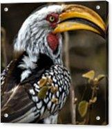Yellow Beak Acrylic Print