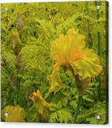 Yellow Bearded Iris Acrylic Print